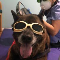 Sichere veterinärmedizinische MLS-Lasertherapie
