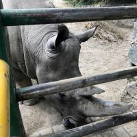 MLS Laser Therapy for rhinoceroses - Zoo Parque Ecologico Zacango, Mexico