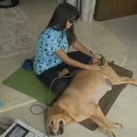 Labrador during MLS Laser Therapy treatment