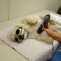 George Town Animal Center - Laserterapia MLS per un cane