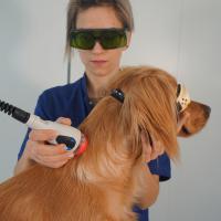 Traitement laser pour chien avec M-VET