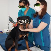 Mphi Vet Orange | Application de thérapie au laser MLS
