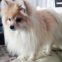 Spitz dog, spayed female, 3 years old