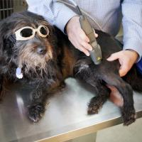Laserterapia MLS per un cane con Mphi Vet