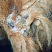 Example of canine pyoderma