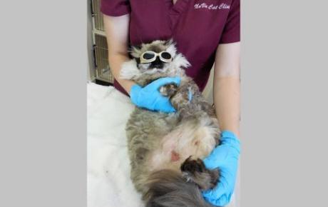 Embedded thumbnail for Fooki, Katze mit Bauchverletzung durch MRSA