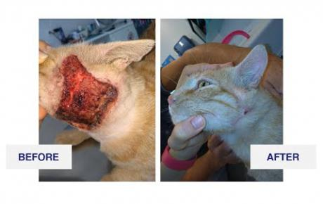 Embedded thumbnail for Romeo, a European shorthair cat with a fistulated abscess