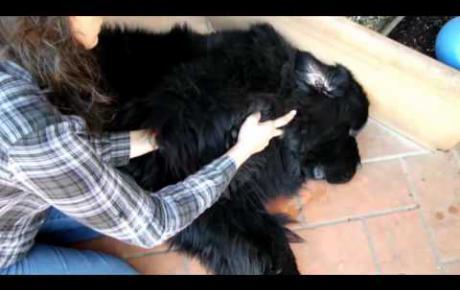 Embedded thumbnail for Web, chien Terre-Neuve avec OCD du coude