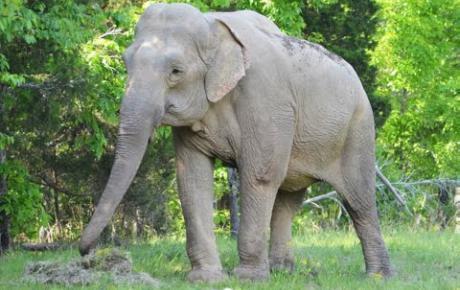 Embedded thumbnail for Shirley, Asiatischer Elefant mit durch Druck verursachten Hautwunden