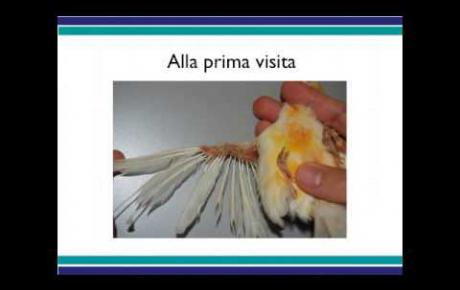 Embedded thumbnail for Canarino con deplumazione