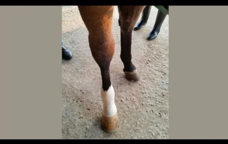 Embedded thumbnail for Liebelei, a horse with chronic phlebitis in the tarsal vein of the right hock