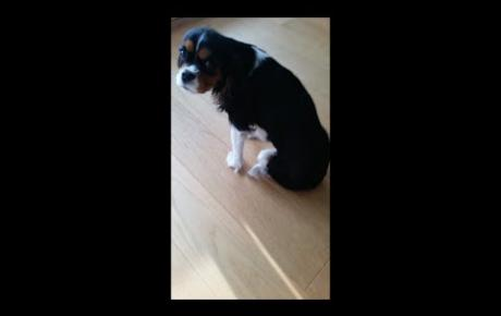 Embedded thumbnail for Cavalier King Charles Spaniel avec lésion au nerf sciatique