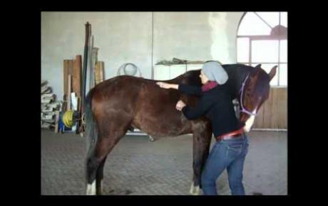 Embedded thumbnail for Thérapie Laser MLS® pour le mal au dos du cheval: l'assaut rapide de l'effet analgésique