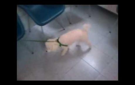 Embedded thumbnail for Chien Bichon Bolonais avec lésion au ligament croisé antérieur
