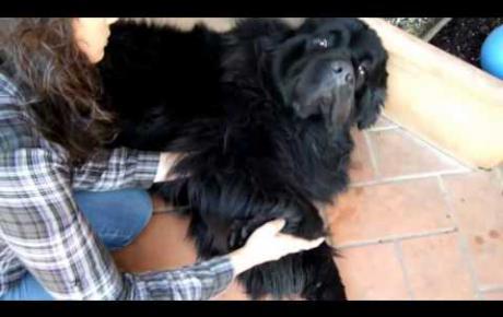 Embedded thumbnail for Web, cane Terranova con OCD di gomito
