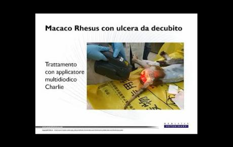 Embedded thumbnail for Macaco Rhesus con ulcera da decubito